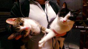 Kaksi kissaa naisen sylissä.