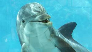 Särkänniemen delfiini Delfi
