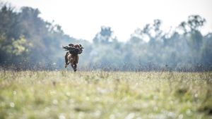 A Hungarian Vizsla dog retreives a pheasant during a fowl and upland game hunting skill competition of vizsla breeds organised by the Hungarian Hunters' National Chamber in Soponya, Hungary, 15 October 2016.