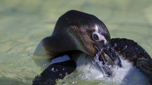 Liikakalastus ja ilmastonmuutos uhkaavat afrikanpingviinejä.
