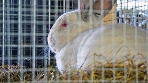 Kani häkissä.