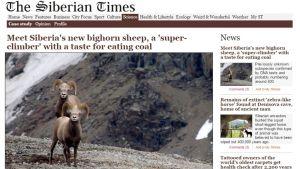The Siberian Times -lehden sivu, jossa on kuva kahdesta ruskeasta, suurisarvisesta sorkkaeläimestä.