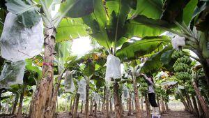 Banaaniviljelmiä uhkaa muuntunut Panaman tauti, joka pystyy nykyään tuhoamaan taudille aiemmin vastustuskykyistä lajiketta.