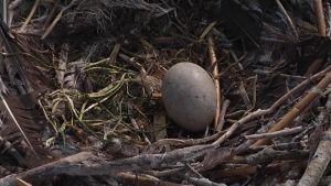 Merimetson muna pesässä