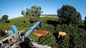 Kahvipapujen koneellista keruuta brasilialaisella plantaasilla
