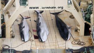 Valaita kalastusaluksella