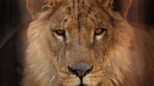 Simba-leijona kuvattuna 21. helmikuuta.