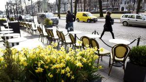 Narsissit kukkivat ravintolan terassilla Helsingin Esplanadilla 12. huhtikuuta.
