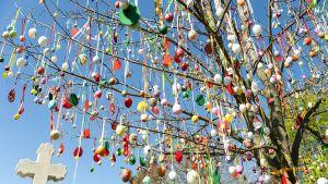 1600 käsinmaalattua pääsiäismunaa koristaa puuta Slovakian Csallokozcsutortokissa. Kuvassa on puu kuvattuna alhaaltapäin, ja värikkäät pääsiäismunat pääsevät oikeuksiinsa auringossa.