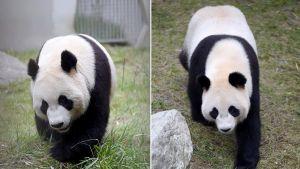 Kaksi pandaa