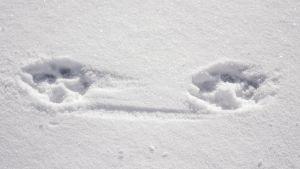 Suden jälki lumessa