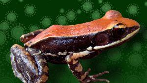 Oranssinmusta sammakko