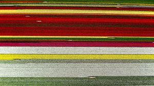 Keukenhofin tulppaanipeltoja Alankomaissa 19. huhtikuuta.