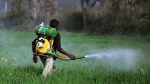 Mies kantaa selässään hyönteismyrkkysäiliötä. Kädessä letku, josta aine suihkuaa ruohikkoon.