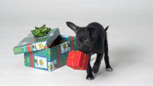 Pieni koira lahjapakettien kanssa.