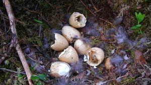 Hajonneita munia ja höyheniä linnun pesässä