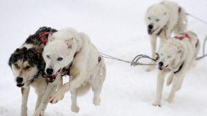 Neljä valjastettua hyskya juoksee pöllyävässä lumessa.
