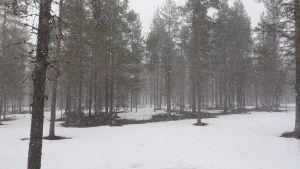 Isoja lumihiutaleita leijailee lumisessa mäntymetsässä kesäkuun ensimmäisenä päivänä Sodankylän Purnumukassa.