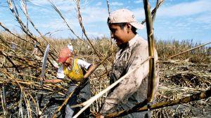 Työntekijät leikkaavat sokeriruokoa Meksikossa.
