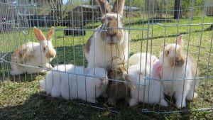 Kaniemo ja kuusi poikasta ulkohäkissä