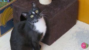 Mustavalkoinen kissa katselee suurin silmin koppinsa ja pinkin pallonsa vieressä.