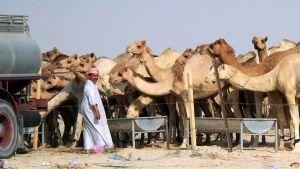 Lauma kameleita syö kaukaloista aidan takana. Mies seisoo etualalla vaaleassa vaatteessa. Kuvan laidassa näkyy säiliöauto.