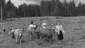 Lapsia lehmilaitumella Lammilla lehmien kanssa.