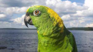 Vihreä, keltaniskainen papukaija suomalaisessa järvimaisemassa