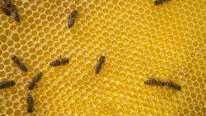 Mehiläisiä hunajakennolla.
