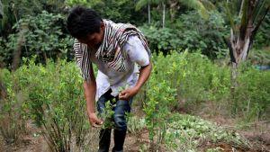 Mies koskettaa kokapensasta Kolumbian maaseudulla.