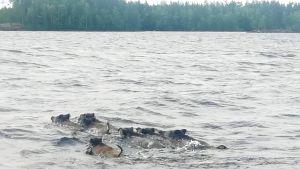 Villisikoja uimassa Mietinsaaren edustalla.