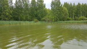 Runsaasti sinilevää järvessä.