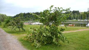 Nämä puut Porvoonjoen rannassa ovat lopullisesti pilalla.