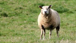 Lammas laitumella.