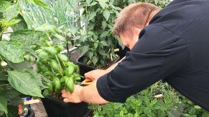 Tampere-talon keittiömestari Kari Antila leikkaa basilikaa ruukusta