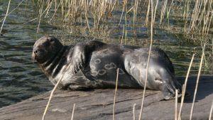 Saimaannorppa köllöttelee kivellä toukokuussa karvanvaihtoaikaan.