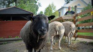 Lampaat eivät suinkaan sulata kaikkea mitä ihmiset niille haluavat tuputtaa.