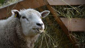 Lammas syö heinää.