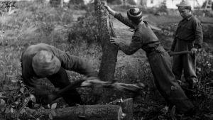 Pojat kaatavat puuta.