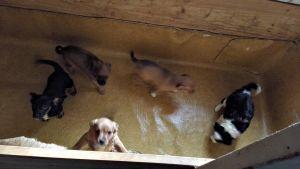 Laittomasti maahan tuotuja koiranpentuja
