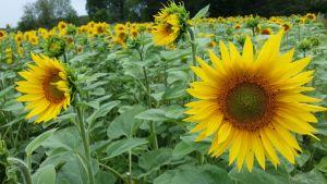 Auringonkukkia Ruissalon pellolla.