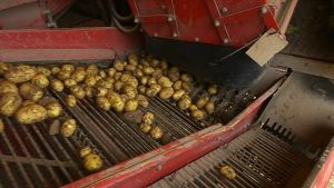Peruna perunaa perunoita nostettu perunannosto kone maanviljelys