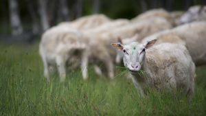 Lampaita laiduntamassa rantaniityllä Kalajoen Rahjan saaristossa.
