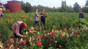 Naiset poimivat kukkia pellolla.