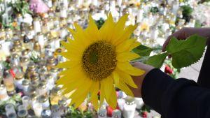 auringonkukka ja taustalla kymmeniä hautakynttilöitä