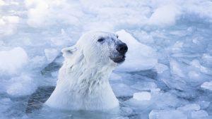 Manasse-jääkarhu-uros jäisessä vedessä Ranuan eläinpuistossa.