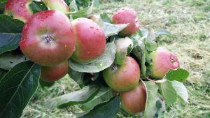 Omenoita oksassa.