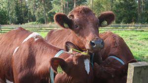 Lehmiä maitotilan aitauksessa