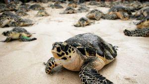 Merikilpikonnia hiekalla.