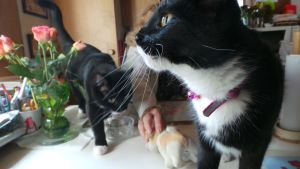 kaksi kissaa pöydällä